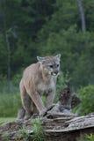 Λιοντάρι βουνών σε ένα κούτσουρο Στοκ Εικόνες