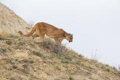 Λιοντάρι βουνών στο κυνήγι Στοκ Φωτογραφίες