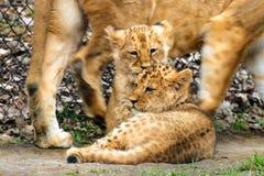 Λιοντάρι δύο μωρών στην κίνηση στοκ φωτογραφία