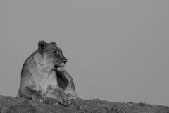 Λιοντάρι, επιφύλαξη παιχνιδιού Madikwe στοκ εικόνες
