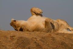 Λιοντάρι, επιφύλαξη παιχνιδιού Madikwe στοκ φωτογραφία με δικαίωμα ελεύθερης χρήσης