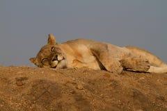 Λιοντάρι, επιφύλαξη παιχνιδιού Madikwe στοκ εικόνα