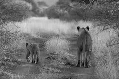 Λιοντάρι, επιφύλαξη παιχνιδιού Madikwe στοκ φωτογραφία