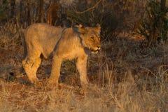 Λιοντάρι, επιφύλαξη παιχνιδιού Madikwe στοκ φωτογραφίες με δικαίωμα ελεύθερης χρήσης