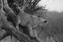 Λιοντάρι, επιφύλαξη παιχνιδιού Madikwe στοκ εικόνες με δικαίωμα ελεύθερης χρήσης