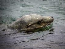Λιοντάρι θάλασσας Καλιφόρνιας Στοκ εικόνα με δικαίωμα ελεύθερης χρήσης