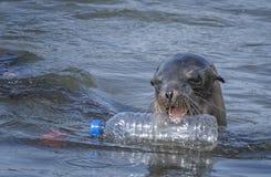 Λιοντάρι θάλασσας με το πλαστικό μπουκάλι νερό στοκ φωτογραφίες με δικαίωμα ελεύθερης χρήσης