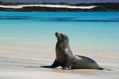 Λιοντάρι θάλασσας σε μια παραλία Στοκ Φωτογραφίες