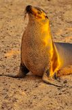 Λιοντάρι θάλασσας στην παραλία στοκ εικόνες με δικαίωμα ελεύθερης χρήσης