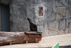 Λιοντάρι θάλασσας στο ζωικό πάρκο στοκ εικόνες