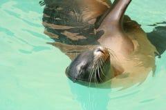 Λιοντάρι θάλασσας Στοκ φωτογραφίες με δικαίωμα ελεύθερης χρήσης