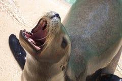 Λιοντάρι θάλασσας Στοκ φωτογραφία με δικαίωμα ελεύθερης χρήσης