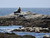 Λιοντάρι θάλασσας Steller με τις λιμενικές σφραγίδες στοκ φωτογραφία με δικαίωμα ελεύθερης χρήσης