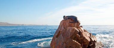 """Λιοντάρι θάλασσας Καλιφόρνιας που στηρίζεται στο """"the Point† ή â€œPinnacle των εδαφών End† του Los Arcos σε Cabo SAN Luca Στοκ Εικόνες"""