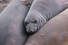Λιοντάρι θάλασσας Καλιφόρνιας Στοκ εικόνες με δικαίωμα ελεύθερης χρήσης