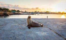 Λιοντάρι θάλασσας κοντά στην παραλία στο SAN Cristobal πριν από το ηλιοβασίλεμα, Galapagos Στοκ εικόνα με δικαίωμα ελεύθερης χρήσης