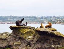 Λιοντάρι θάλασσας κυματισμού στον όρμο της Λα Χόγια στο Σαν Ντιέγκο, Καλιφόρνια Στοκ εικόνα με δικαίωμα ελεύθερης χρήσης