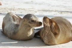 Λιοντάρι θάλασσας μωρών με το mom στοκ φωτογραφία με δικαίωμα ελεύθερης χρήσης