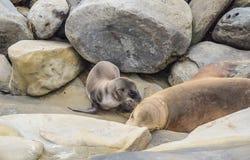 Λιοντάρι θάλασσας μωρών που προσπαθεί να παρακινήσει τον ύπνο του Mom στον όρμο της Λα Χόγια στο Σαν Ντιέγκο, Καλιφόρνια Στοκ Εικόνες