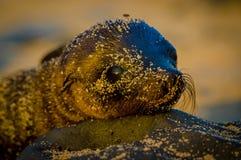 Λιοντάρι θάλασσας μωρών στο ηλιοβασίλεμα galapagos στα νησιά Στοκ φωτογραφίες με δικαίωμα ελεύθερης χρήσης