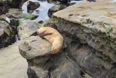 Λιοντάρι θάλασσας που στηρίζεται επάνω για το Κυνήγι στον όρμο της Λα Χόγια στο Σαν Ντιέγκο, Καλιφόρνια Στοκ εικόνες με δικαίωμα ελεύθερης χρήσης