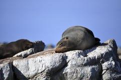 Λιοντάρι θάλασσας που στηρίζεται στους βράχους στη Νέα Ζηλανδία Στοκ Φωτογραφία