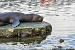 Λιοντάρι θάλασσας σε Puerto Montt, Χιλή Στοκ Φωτογραφίες