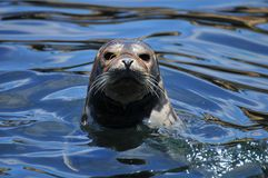 Λιοντάρι θάλασσας στον ωκεανό Στοκ Φωτογραφίες