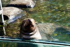 Λιοντάρι θάλασσας στο ζωολογικό κήπο του Central Park, NYC στοκ εικόνα
