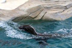 Λιοντάρι θάλασσας στο ζωολογικό κήπο 1 Στοκ φωτογραφία με δικαίωμα ελεύθερης χρήσης
