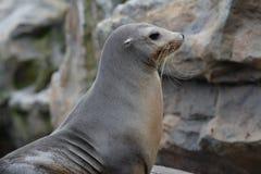 Λιοντάρι θάλασσας Στοκ Φωτογραφίες
