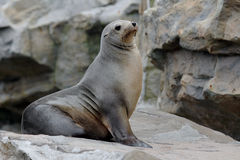 Λιοντάρι θάλασσας Στοκ Εικόνες