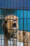 Λιοντάρι και λιονταρίνα Στοκ Εικόνες