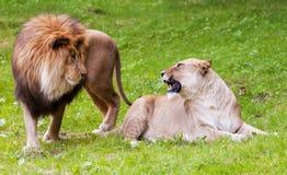 Λιοντάρι και λιονταρίνα Στοκ Φωτογραφίες