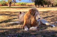 Λιοντάρι και λιονταρίνα Στοκ εικόνες με δικαίωμα ελεύθερης χρήσης