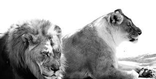 Λιοντάρι και λιονταρίνα bw Στοκ φωτογραφία με δικαίωμα ελεύθερης χρήσης