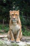 Λιοντάρι και τίγρη μικτά Στοκ φωτογραφία με δικαίωμα ελεύθερης χρήσης