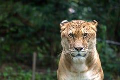 Λιοντάρι και τίγρη μικτά Στοκ Φωτογραφία