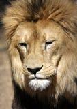 λιοντάρι κινηματογραφήσ&epsil Στοκ φωτογραφίες με δικαίωμα ελεύθερης χρήσης