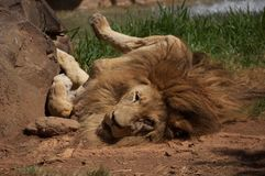 Λιοντάρι κυλίσματος Στοκ φωτογραφίες με δικαίωμα ελεύθερης χρήσης
