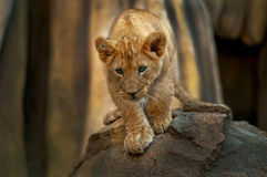 λιοντάρι λίγα Στοκ Φωτογραφίες