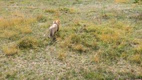 Λιοντάρι με έναν κόκκινο Μάιν σε έναν ζωολογικό κήπο απόθεμα βίντεο