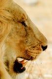 Λιοντάρι με το χαυλιόδοντα Στοκ Εικόνες