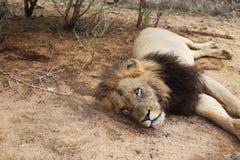λιοντάρι νυσταλέο στοκ φωτογραφία με δικαίωμα ελεύθερης χρήσης