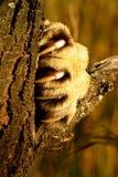 λιοντάρι νυχιών Στοκ Εικόνες