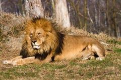 Λιοντάρι ο βασιλιάς Στοκ φωτογραφίες με δικαίωμα ελεύθερης χρήσης