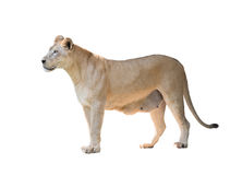 Λιοντάρι που απομονώνεται θηλυκό Στοκ Εικόνες