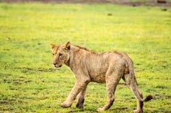 Λιοντάρι που βρίσκεται στο gaggling στόμα χλόης ευρέως ανοικτό στη σαβάνα Στοκ Φωτογραφία