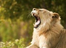 λιοντάρι που εμφανίζει δό&n Στοκ Εικόνες