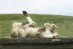 Λιοντάρι που κυλά παιχνιδιάρικα γύρω Στοκ Εικόνες